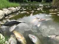 「こんな恐ろしい光景を見たことない」 公園のコイ千匹以上が大量死 沖縄