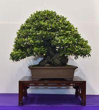 樹齢100年超のガジュマル 沖縄の盆栽展で金賞 恩納村の男性が4年連続