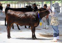 自慢の「牛」競う 肉質など品評会/久米島