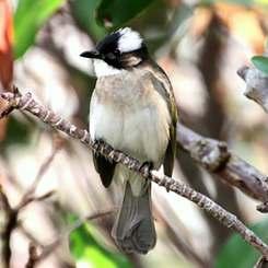 農作物への食害が問題になっているシロガシラ(漫湖水鳥・湿地センター提供)