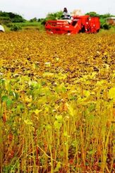 ソバの実を収穫する農家=20日、宮古島市平良下里の農地