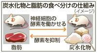 食物選ぶ神経細胞をマウスで特定 「ストレスで過食」解明も