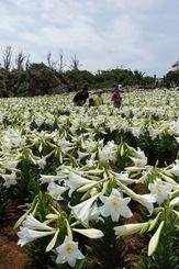 開花したテッポウユリと花見を楽しむ来場客=19日、伊江村