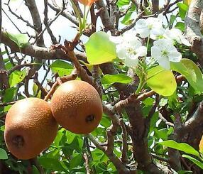ナシの花と実を付けた梨の木=9日、仲尾次区内