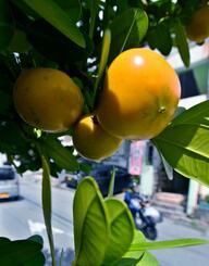 街路樹のフクギの実が黄色く色づき、夏の終わりを感じさせる=9日午後2時ごろ、那覇市小禄(田嶋正雄撮影)