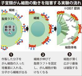 子宮頸がん細胞の動きを阻害する実験の流れ ※OIST提供