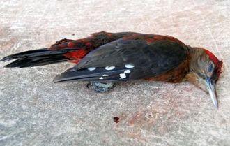 窓にぶつかって死んだと見られるノグチゲラ=28日、東村高江の高江小中学校
