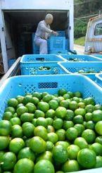収穫されたシークヮーサー。農家は「まだ木にたくさん残っている。一日でも早く冷凍庫を確保しないともうすぐ実が駄目になる」と嘆いた=10月31日、大宜味村押川