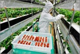 沖縄セルラーが技術ノウハウを受ける、日清紡ホールディングスのイチゴ栽培の模様(日清紡HD藤枝事業所提供)