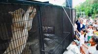 肉にガブリ! ホワイトライオン、1歳の誕生会 沖縄こどもの国
