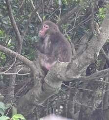 山を逃げながら木の上で休息するヤクシマザル=27日午後2時42分、沖縄市内
