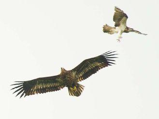 石垣島に飛来したオジロワシ(左)とミサゴ=1日正午ごろ