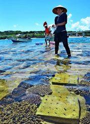 人工リーフにヒメジャコを植え付ける参加者=7月31日、本部町・浜崎漁港(西江千尋撮影)