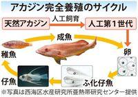 沖縄の高級魚アカジンの完全養殖に成功 石垣島で世界初