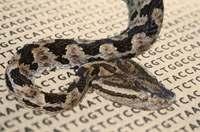 ハブの毒に偶然の「進化」 OISTがゲノムを解読、治療応用に期待
