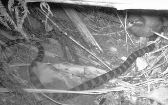 巣に侵入したアカマタの上に脚を乗せるヤンバルクイナの親鳥(右上)=8日午前3時36分、国頭村奥間(山階鳥類研究所提供)