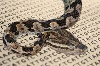 論文で解析したタイワンハブとゲノム配列(OIST提供)