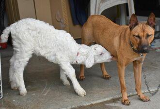 犬の「クク」のお乳を飲む子ヤギの「メメ」=30日、豊見城市長堂