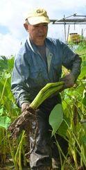 旧盆にあわせ、田芋の収穫がピークを迎えている=5日、宜野湾市大山
