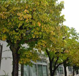 食害で葉が枯れかかっている北部合同庁舎のアカギ=1日、名護市大南