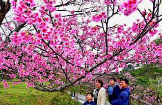 満開のヒカンザクラを眺める行楽客=27日、名護城公園(下地広也撮影)