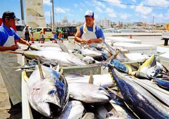 大量に水揚げされたメバチマグロやキハダマグロ=7日、沖縄市泡瀬・泡瀬漁港