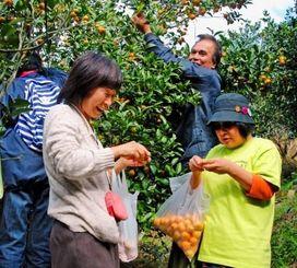 農家の平良さん(後方右)とおしゃべりをしながらシークヮーサーを味わう観光客=27日、大宜味村上原