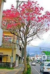 かわいいピンクの花を付けたモモイロイペー=名護市