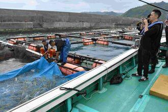 漁師が畜養網から水揚げする様子を視察する「アキラバック」シンガポール店の木我智之料理長(右)ら=11日、国頭村・辺土名漁港
