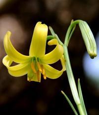 咲かせよう、友の「形見」 沖縄の島で絶滅危惧種のユリ繁殖に挑む夫婦
