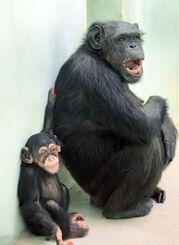 チンパンジーの「ナツム」(左)と母「ココ」=2020年3月7日、沖縄市・沖縄こどもの国(同園提供)
