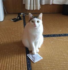 「猫だって」使用していたカイロのシャカシャカ音が気になったようで、机に置いたスキに取られて遊んでました。 温かさに不思議そうに手を乗せていた姿が可愛くて撮りました。