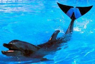 ゴム製の尾びれを装着したバンドウイルカのフジ(海洋博公園提供)
