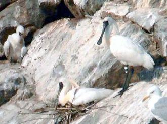 パートナーと一緒に巣を守るクロツラヘラサギのK96(右)=25日、韓国仁川(読者提供)