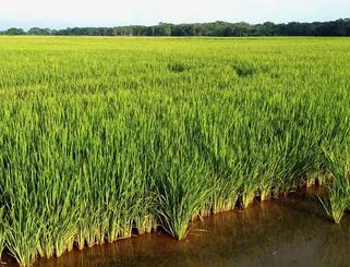 低地に水田を作って稲作栽培が盛んとなった。収穫されたお米も好評だ=ボリビア