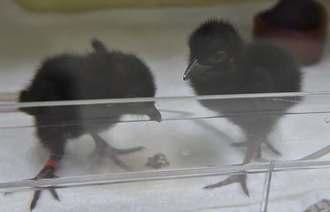 人工ふ化で生まれたヤンバルクイナのひな=29日、国頭村安田・環境省ヤンバルクイナ飼育・繁殖施設