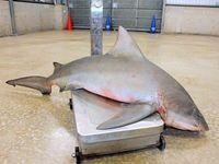 サメ新たに3匹捕獲 沖縄・北谷のビーチ計4匹に 地元「ホッ」