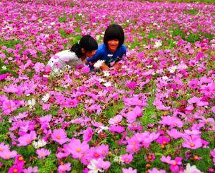 満開のコスモスの中で、色鮮やかな花や香りを楽しむ子どもたち=21日、金武町伊芸(浦崎直己撮影)