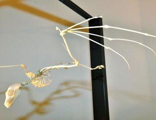 オオコウモリの骨格標本