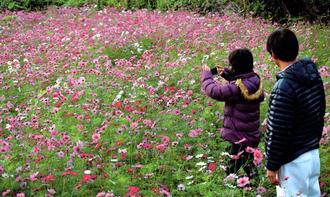 コスモスをスマートフォンで撮影する人たち=1日、北中城村荻道区