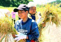 夏の実り 収穫体験/児童ら稲刈り楽しむ 伊平屋