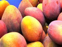 沖縄マンゴー今年は豊作! 過去最高2055トンの見込み