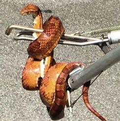 警察官によって捕獲されたヘビ=29日午前9時半ごろ、那覇市真嘉比(読者提供)