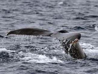 尾びれを見せて泳ぐザトウクジラ=27日午前11時ごろ、座間味島の南東約1キロ沖