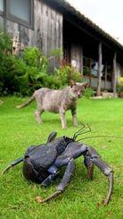 猫もおっかなびっくりの大型のヤシガニ=名護市饒平名「古民家カフェ喜色」