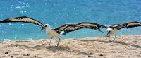コアホウドリ 元気に空へ 名護で2羽放鳥