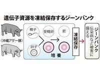 ブランド豚「アグー」増産へ、遺伝子バンク 精子を希望農家に配布