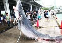 サメ駆除で500キロ超の大物も! 沖縄・八重山近海 その目的は?