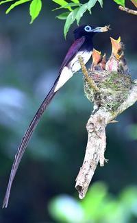 夏鳥サンコウチョウ 沖縄・八重瀬の雑木林で子育て奮闘中
