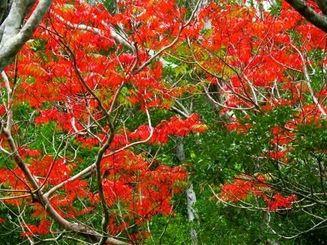 鮮やかな赤色に紅葉しているハゼノキ。近くには黄色に黄葉した個体も=21日、名護市安部の国道331号沿い